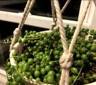 String of Pearls Cuttings, 4 Pieces , 4 Inches in length senecio rowleyanus