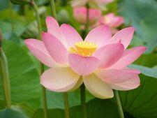 10 Graines Lotus Sacré Nelumbo nucifera