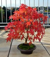 10 Seeds Acer grosseri 'Hersii' Rare Snakeskin Maple Bonsai -Seed Sale