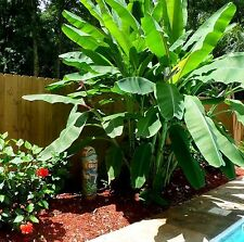 Tropical *DWARF* BANANA Edible Tree Plant Fruit Seeds (Musa Acuminata) 10+ Pack