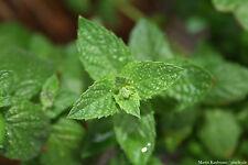 Grüne Minze - Krauseminze - Mentha spicata 50 Samen Teepflanze Duftpflanze 01412