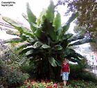 Verrückt: Sagenhafte Riesen-Bananen-Palme, robust und winterhart, für den Garten