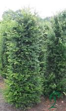 Taxus Baccata 140-160 cm. Heimische Eiben. Heckenpflanzen. 26,- Euro.