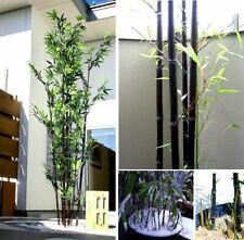 Schwarzer Bambus Samen - Black Bamboo Seeds - Phyllostachys Nigra - Winterhart