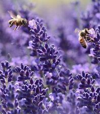 Blauer Lavendel frostharte Blumen winterharte Pflanze für den Balkon Garten Topf