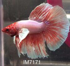 Light Pink Butterfly Dumbo Halfmoon HM Male Live Betta Fish