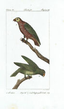 JACO PAPPAGALLO PARROT - Incisione 1800 Buffon Uccelli Ornitologia Hornitology