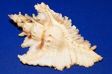 Pterynotus Acanthopterus - very big, museum quality albino form