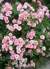 Organic Live USA Pink Miniature Rose Cuttings
