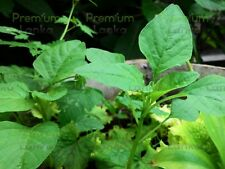 1000+ Seeds Green Amaranth Spinach Asian Vegetable Organic No Gmo