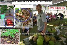BREADFRUIT ROOT ~ CUTS. 4 Inches long  X 3 PIC  LIVE - FRESH- Artocarpus altilis
