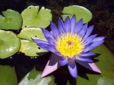 Usa Seller 100 Seeds Water Lily Purple Blue Flowers Garden Plants