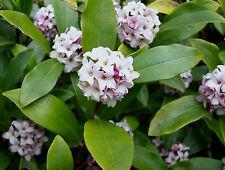 3 lovely scented Daphne flowering garden plant shrub pot shade