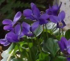 30+ Queen Charlotte Viola Flower Seeds