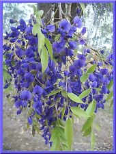 AFRICAN TREE WISTERIA, BULK BUY 50+ FRESH SEEDS