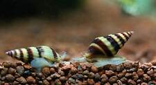 Due Lumaca Anentome Helena Killer per acquari mangia lumache infestanti mangiare