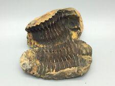 Fossil Trilobite Phacops - Devonian age - Morocco - Both halves - A Grade