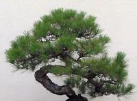 Pino Negro Japones - pinus Thunbergii - Ideal para bonsai 150  semillas frescas