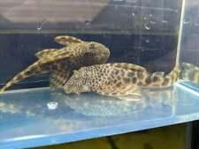 L147 Pleco  - LIVE FISH