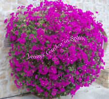 3 woodsticks cuttings from our Bougainvillea in bright purple plus 2 gratis
