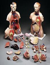 Life-Size Unisex Human Torso Anatomical Medical Model