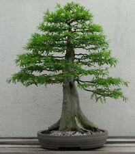 Bonsai Samen Zimmerpflanze Balkon Exot i! KONIFERE / SUMPF-ZYPRESSE !i Baum