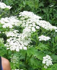 50 Lovage Levistucyn Officinale Herb Flower Seeds +Gift