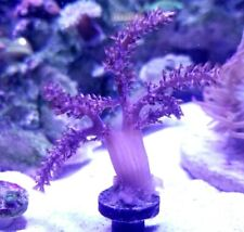 New listing Live Coral: Wysiwyg True Pink Kenya Tree Medium Frag Softie Soft Coral