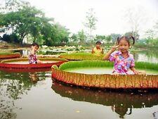 Thai Victoria Amazonica 5 Seeds, Exotic Rare Giant Water Lily Lotus Pond Fresh