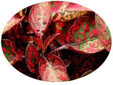 25+ HYPOESTES POLKA DOT PLANT SPLASH RED FLOWER SEEDS / SHADE LOVING