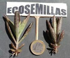 kalanchoe daigremontiana ECOLÓGICA anticancer, 8 plántulas con 7-9 hojas y raíz