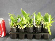 RON. Special Bulk Orchid deal. 10 x Quality Cattleya Clones in tubes (9623)