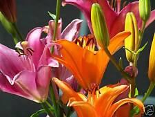 Fine Art Photography Digital Photo Mauve Orange Lilies Kaleidoscope Flower Print