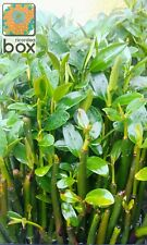 Saltwater Mangrove Pods. Live Plant Pack Of 5