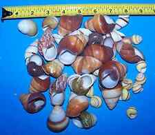 10 - ASSORTED LAND SNAIL SHELLS HERMIT CRAB WITH MOISTURE SPONGE CRAFTS WOW!