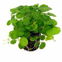 Hydrocotyle verticillata, Piante per Acquario a Crescita Veloce. Gestione Facile