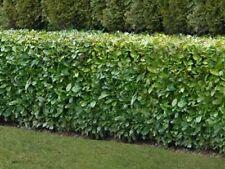 10 x 3-4ft tall Native Laurel Hedge Plants multi-stem evergreen hedging plant