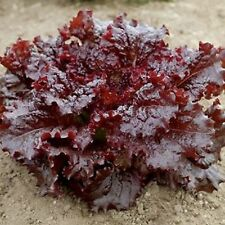 Lettuce Ruby Red PROLIFIC HEAT TOLERANT STRIKING COLOR 500+ SEEDS COMBINED SHIP