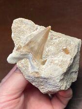 Beautiful Otodus obliquus shark tooth on Natural Matrix Morocco NO RESERVE