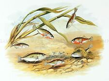 PAINTING ANIMAL FISH THREE SPINED STICKLEBACK LYDON ART PRINT LAH395A