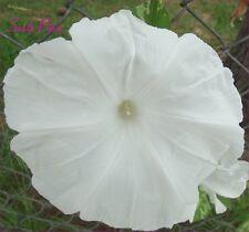 Akatsuki no Yuki Japanese Morning Glory Seeds - ipomoea Nil - White - Huge!