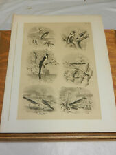 1878 Studer Bird Print/Finch, Widow, Sparrow, Golden Bunting, Lark, Weaver