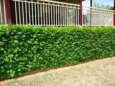 PREORDER 100 x Very Fragrant ORANGE JASMINE Murraya paniculata plants 40mm pots