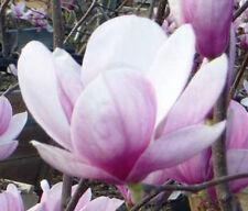 Magnolia soulangeana   Tulip Tree   10_Seeds