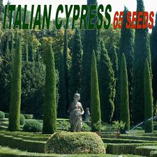 Italian Cypress Tree - Cupressus Sempervirens Stricta - 65 SEEDS