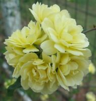 Lady Banks Rosa banksiae double yellow pint plant