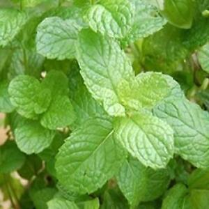 Herb - Mint Green - 3000 Seeds