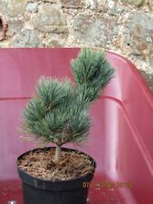 Pinus pumila 'Säntis' 3L from @30-35cm SIGNED DELIVERY