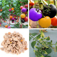 100 Stücke Regenbogen Tomaten Samen, bunte Bonsai, Bio-Gemüsesamen,Haus / Garten