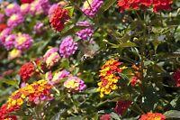 das Wandelröschen verwandelt wie von Zauberhand seine Blütenfarbe.